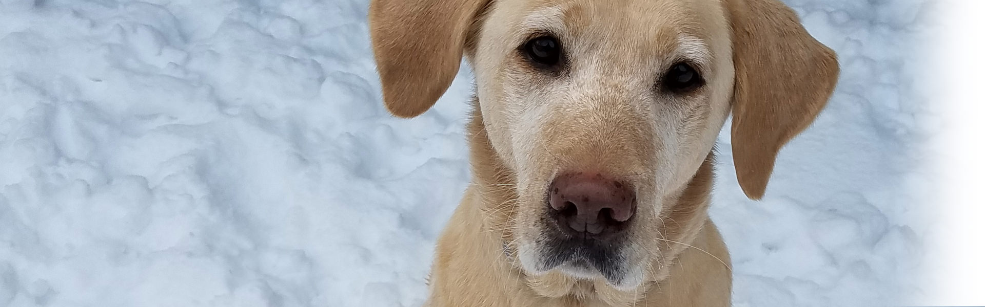 yellow lab in snow